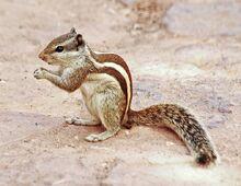 Indian palm squirrel-1-2.jpg