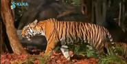 MMHM Bengal Tiger