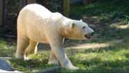 Maryland Zoo Polar Bear (V2)