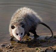 Opossum, Virginia (V2)