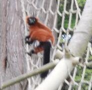 Red ruffed lemur san francisco zoo