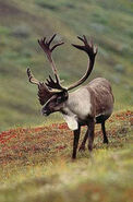 Woodland-Caribou-Pictures