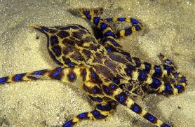 Blue-Ringed Octopus.jpg