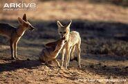 Cape-fox-cub-begging-for-food
