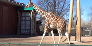 Denver Zoo Giraffe