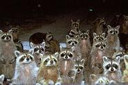 Gaze of Raccoons