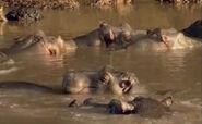 HugoSafari - Hippopotamus02