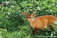 Male-southern-red-muntjac-in-vegetation