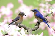 Male and Female Bluebirds