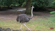 Memphis Zoo Ostrich (V2)