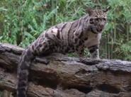 Nashville Zoo Clouded Leopard