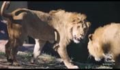 Taronga Zoo Lion