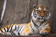 Tiger, Siberian.jpg