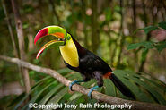 Toucan, Keel-Billed (V2)
