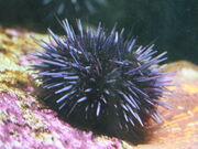Urchin.jpg