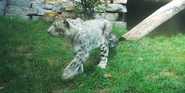 Cleveland Metroparks Zoo Snow Leopard