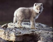Indian Wolf Pup