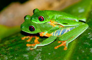 Male and Female Red-Eyed Tree Frogs