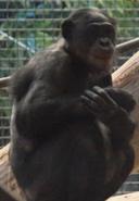 Milwaukee County Zoo Chimpanzee