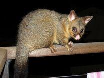 Possum, Common Brushtail.jpg