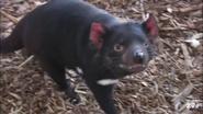 San Diego Zoo Tasmanian Devil