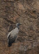 Vulture, Indian