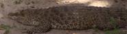 Zoo Miami Crocodile-02