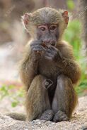 20782805-a-baby-olive-baboon-papio-anubis-sitting-and-eating-in-gombe-stream-game-reserve-tanzania