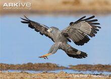 African-harrier-hawk-landing.jpg