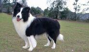 Border Collie (Domestic Dog)