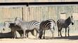 El Paso Zoo Zebras