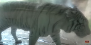 Forth Worth Zoo White Tiger