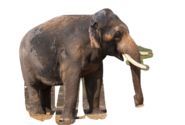 Indian Elephant (Transparent BG)