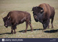 Male and Female American Bisons