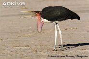 Marabou-stork-eating-winged-termite