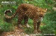 North-China-leopard-snarling