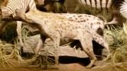 Rolling Hills Zoo Hyena