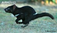 Tasmanian Devil (Real Life)