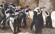 Toledo Zoo Penguins