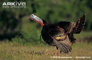 Wild-turkey-male-calling