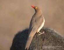 550px-Red-billed Oxpecker.jpg
