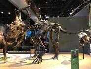 800px-Pachyrhinosaurus perotorum skeleton