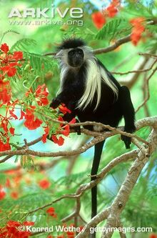 Adult-Angola-colobus-in-a-tree.jpg