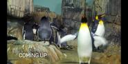 Bronyx Zoo TV Series King Penguins