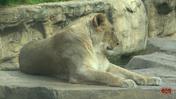 Cincinnati Zoo Lioness (V2)