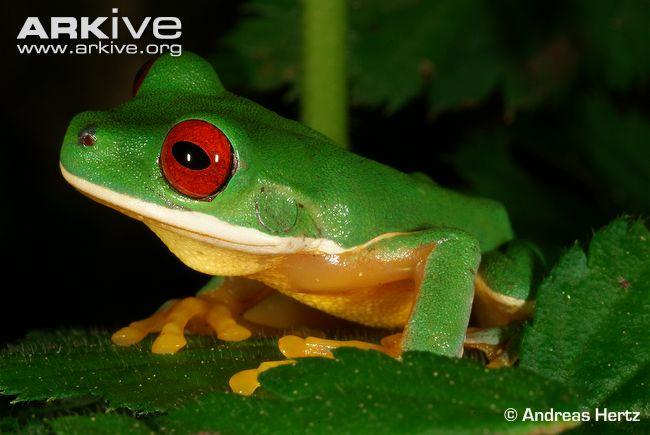 Costa Rica Brook Frog