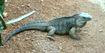 Indianapolis Zoo Iguana