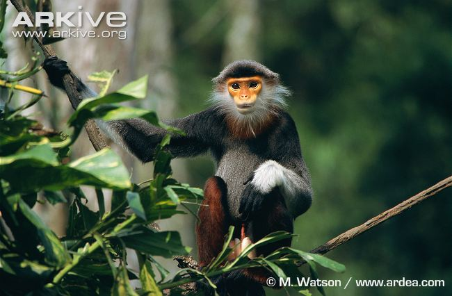 Red-Shanked Douc