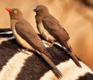 Male and Female Red-Billed Oxpeckers