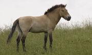 Przewalski's Wild Horse.jpg